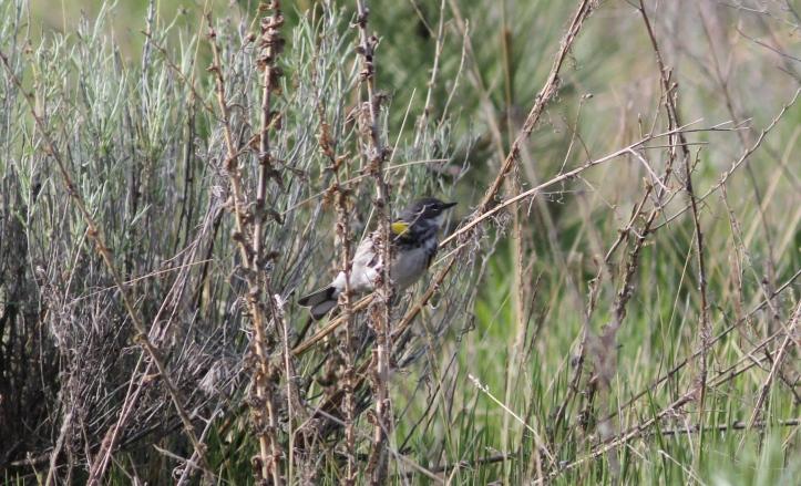 Yellow-rumped Warbler Myrtle 2s