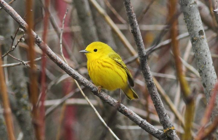 Yellow Warbler 1 (2)g