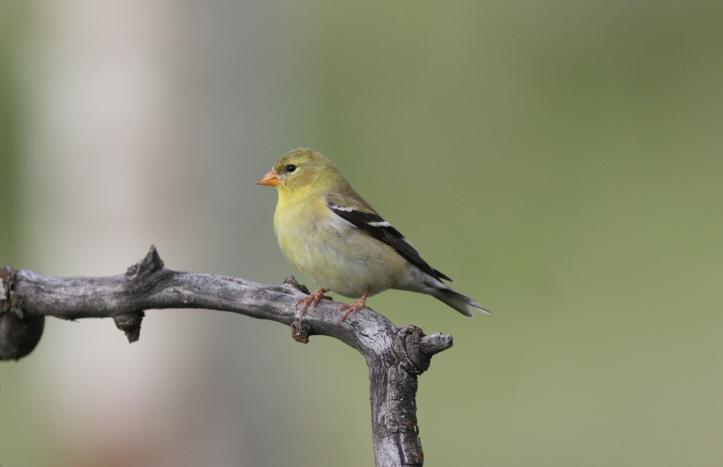 American Goldfinch 78hkj2