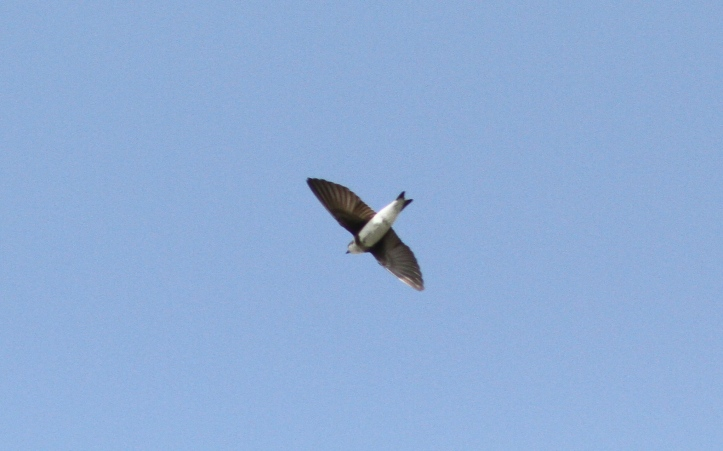 Bank Swallow 76jk3