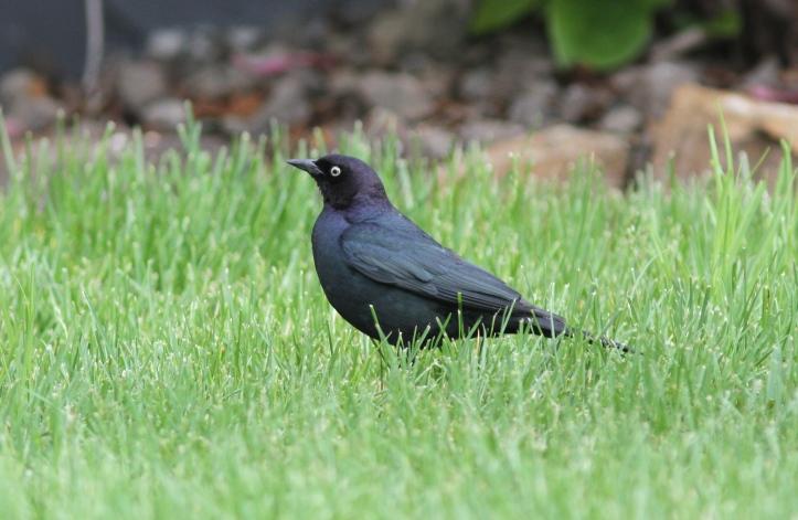 Brewer's Blackbird fggj3
