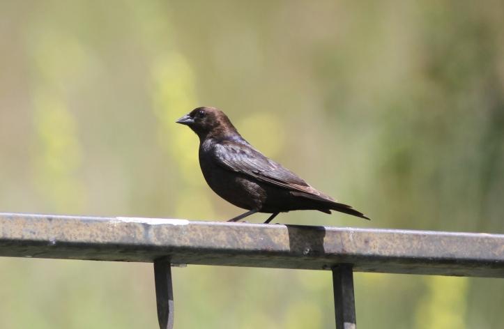Brown-headed Cowbird 67j2 (5)g