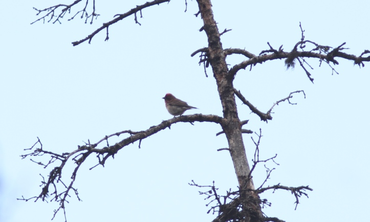 Cassin's Finch 78672g