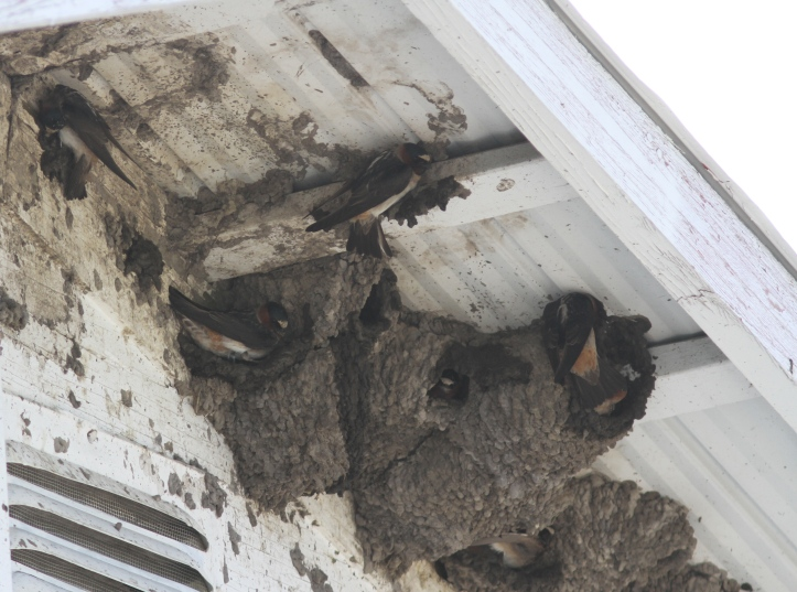 Cliff Swallow v
