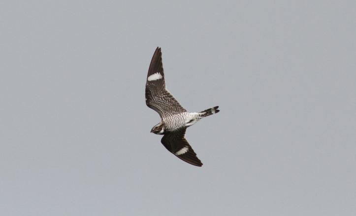 Common Nighthawk 87k2 (3)