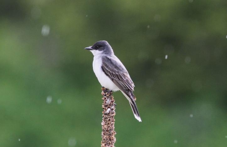 Eastern Kingbird 67j2g