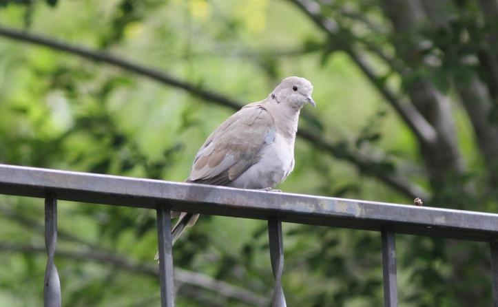 Eurasian Collared-dove 67kjdc