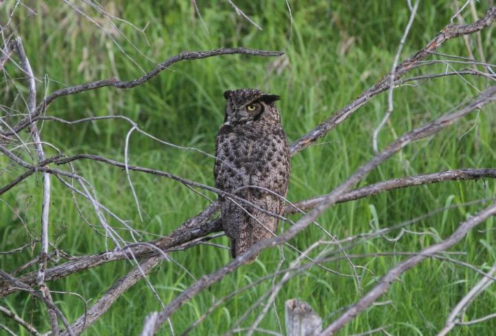 GH owl 7hg2
