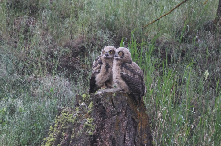 GH Owl 897g