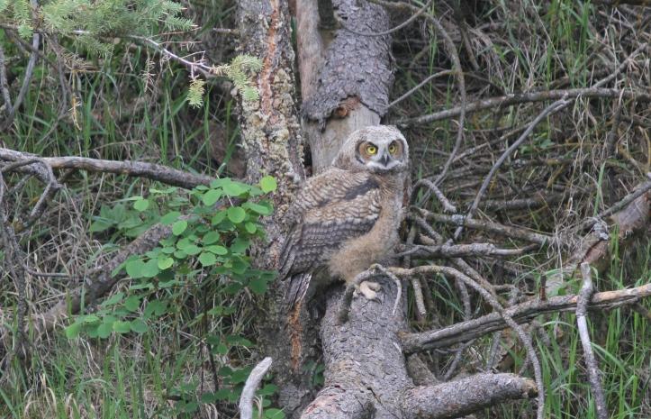 Great Horned Owl 12 (2)
