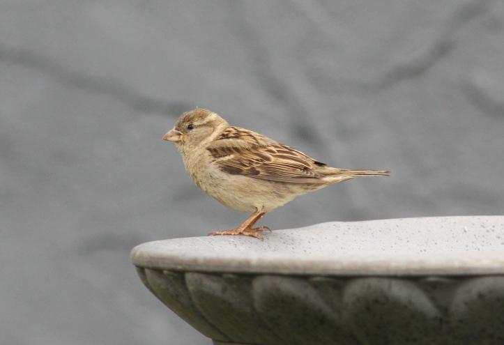 House Sparrow 78k2
