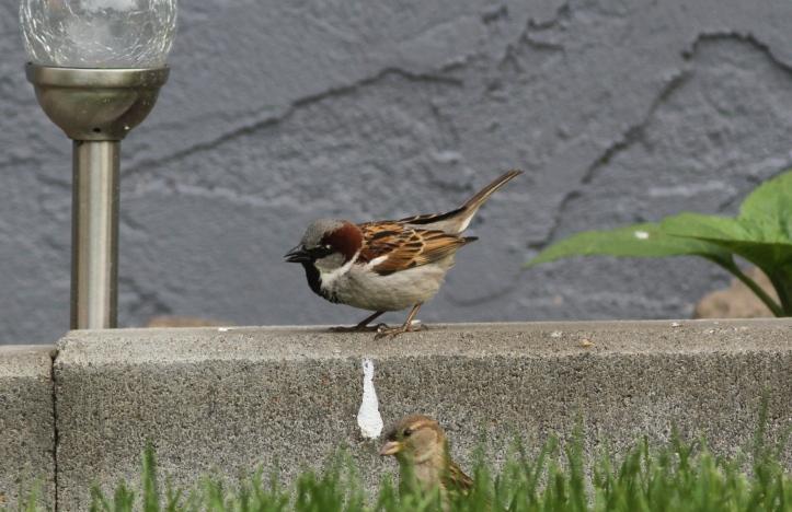 House Sparrow 78k3