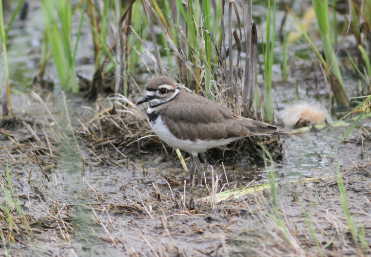 Killdeer 21