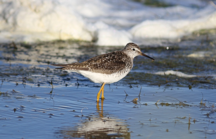 Lesser Yellowlegs 78k2a