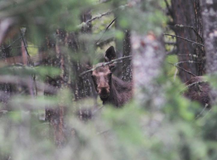 Moose 7g3