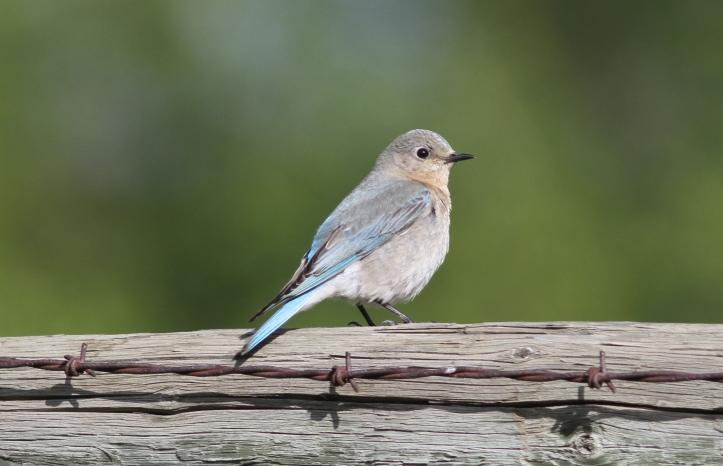 Mountain Bluebird 67g2