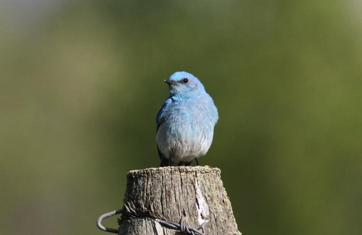 Mountain Bluebird 78oiuo3