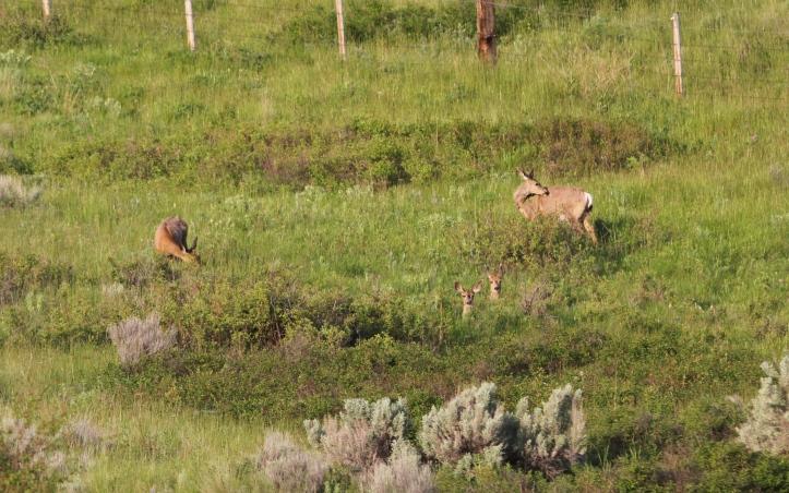 Mule Deer 3cx