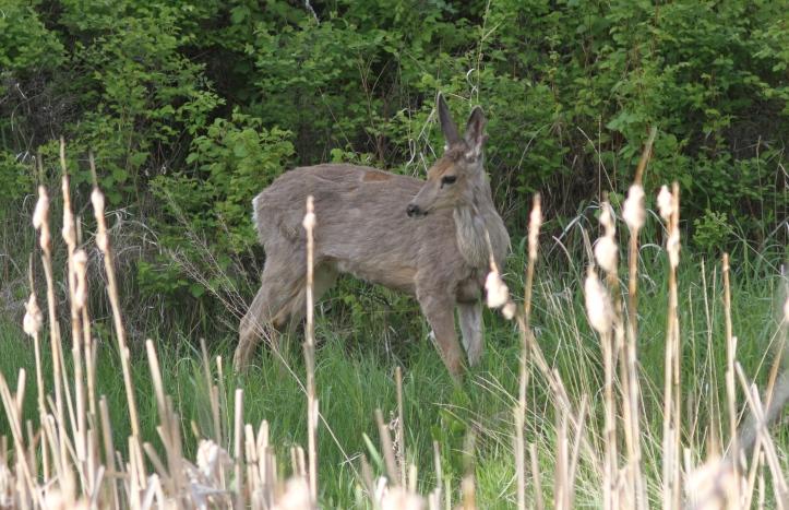 Mule Deer 78uy3g