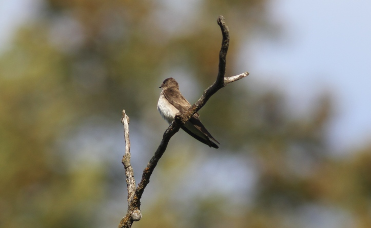 Northern Rough-winged Flycatcher 7hlk3