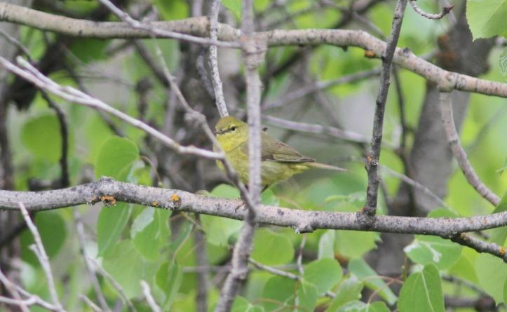 Orange-crowned Warbler kl33