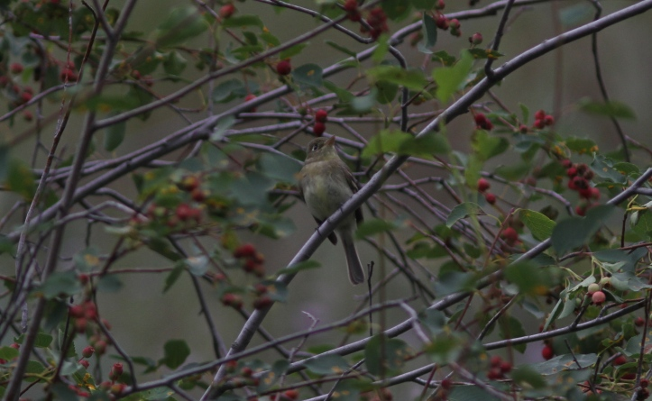 Pacific Slope Flycatcher 5bd (1)