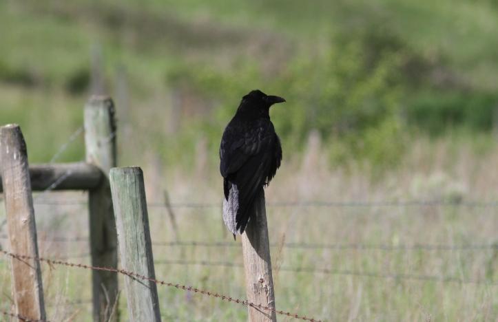 Raven 892