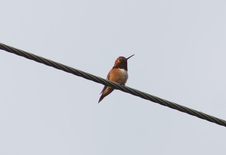 Ruby-throated Hummingbird 67fgj2g