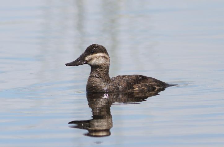 Ruddy Duck 78k2ssg
