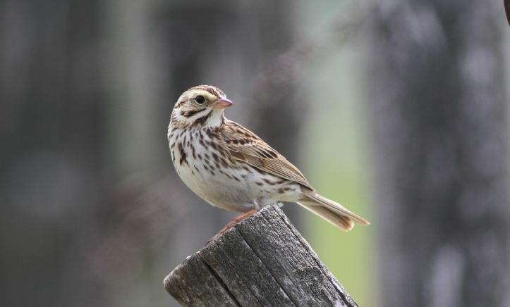 Savannah Sparrow gk2g