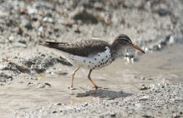 SPotted Sandpiper 909033
