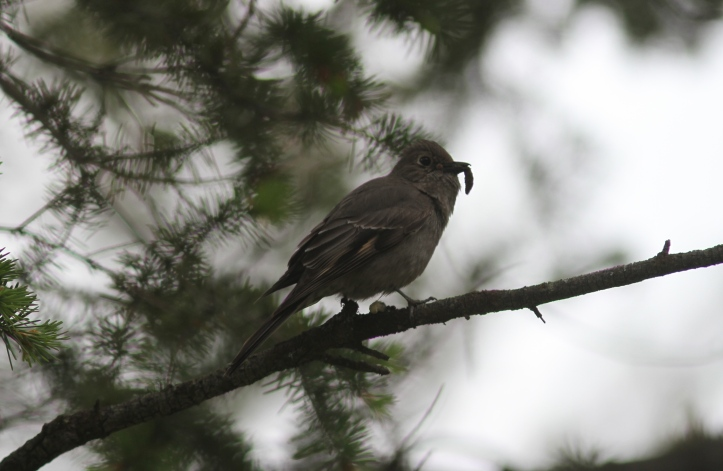 Townsend's Solitaire 785jh4
