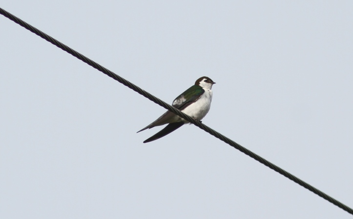 Violet-green Swallow 78gkh2