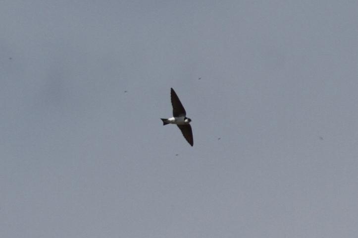 Violet-green Swallow 7ghjk2g