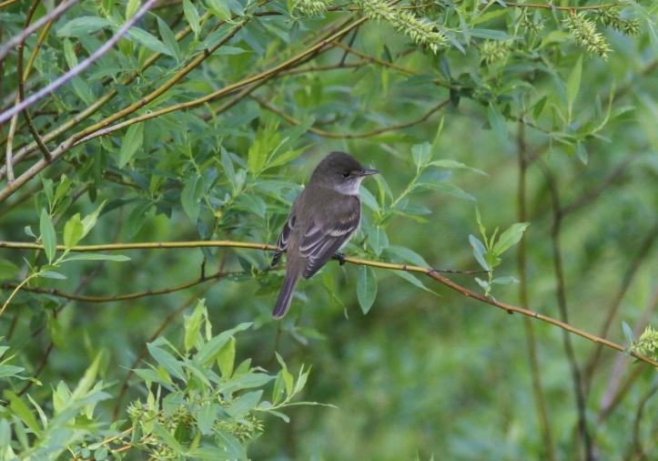 Willow Flycatcher 3dfg