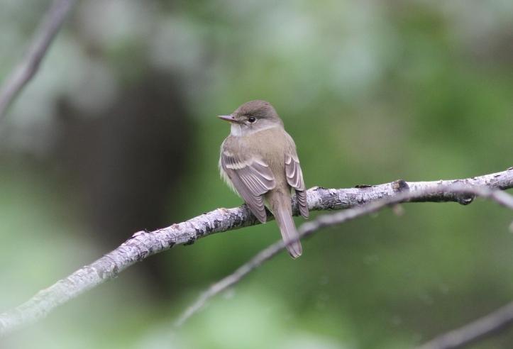 Willow Flycatcher 98l3g
