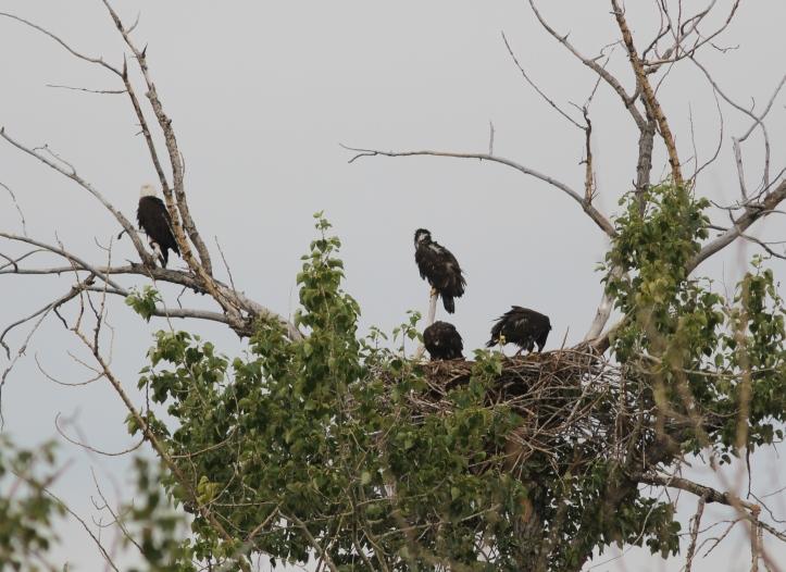 Bald Eagle 4hjkl4