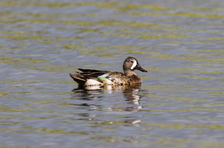 Blue-winged Teal 67jg2