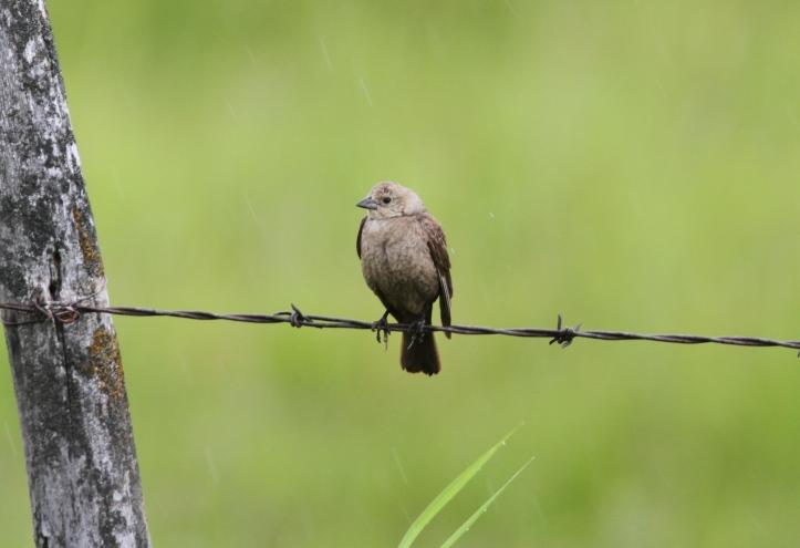 Brown-headed Cowbird 2sz (1)