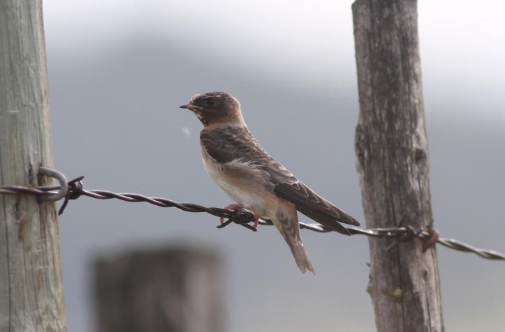 Cliff Swallow 78hks (6)