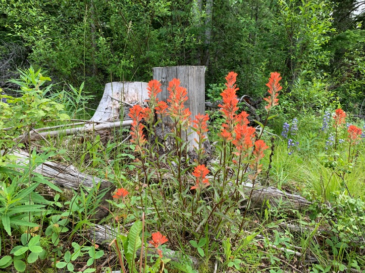Common Red Paintbrush 3