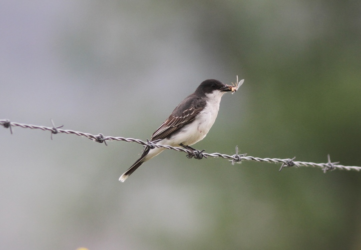 Eastern kingbird 8772g