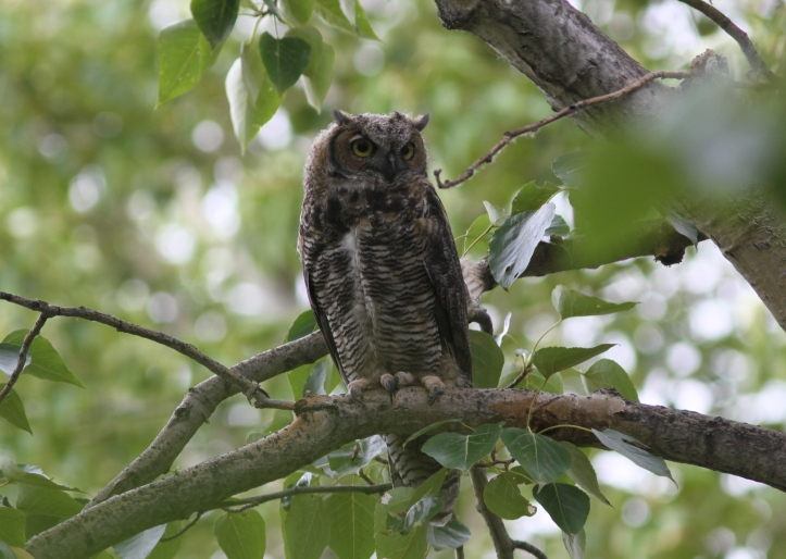 Great Horned Owl 762dg