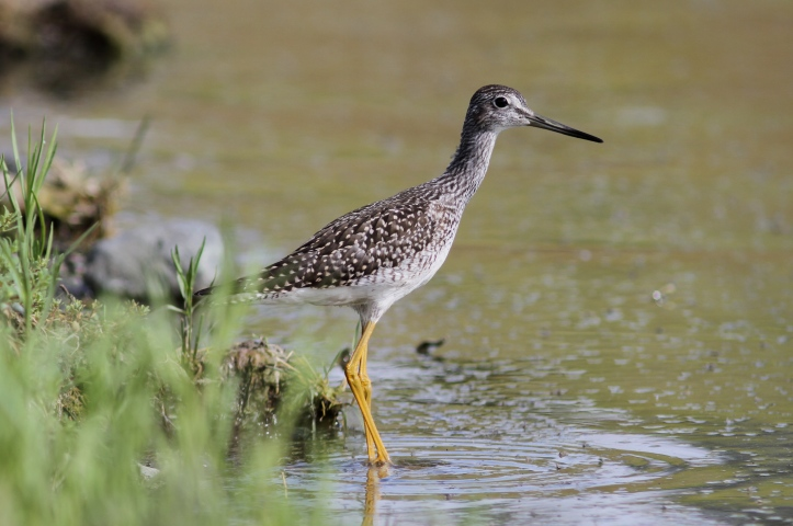 Greater Yellowlegs 3bns