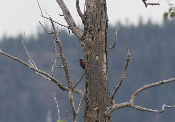 Lewis's Woodpecker 4nn4
