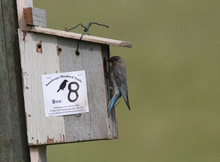 Mountain Bluebird tfgjh3g