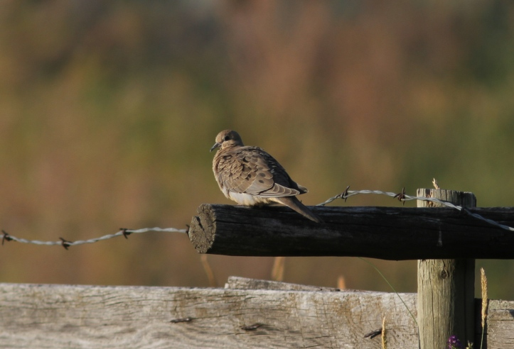 Mourning Dove 367gh3