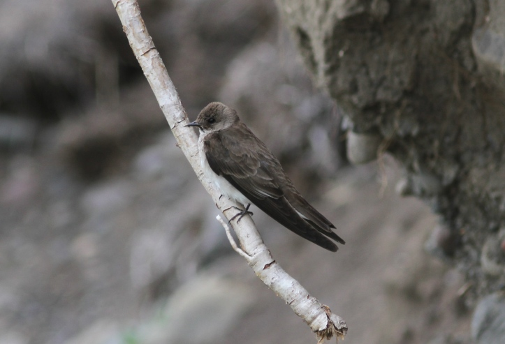 Northern Rough-winged Swallow 89090yu2g