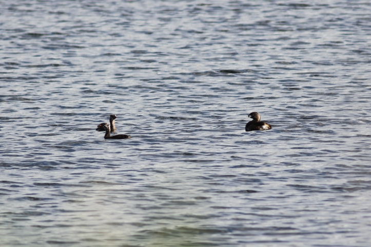 Pied-billed Grebe 2sng