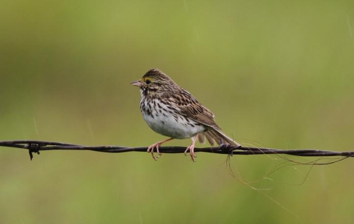 Savannah Sparrow 67hg3